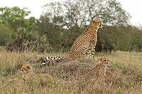 Een vrouwelijke cheetah zittend met haar welpen