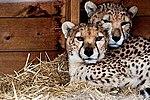 Cheetahs - Whipsnade Zoo (32748569050).jpg