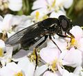 Cheilosia cf. vernalis (female) - Flickr - S. Rae (3).jpg