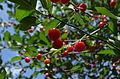 Cherries on a tree 2.jpg