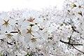 Cherry blossom near Zenpukuji river, Tokyo; March 2008 (10).jpg