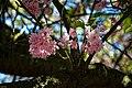 Cherry tree blossom City of London Cemetery 3.jpg