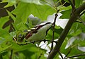Chestnut-sided Warbler (so close to the photo Andy wanted, so close) (32868663117).jpg