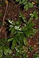 Chimaphila umbellata 1049.JPG