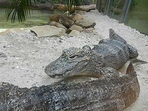 Saarbrücken Zoo - Image: Chinaalligatorzoosaa rbruecken 2015