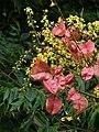 Chinese Rain Tree ( Koelreuteria ) - flowers and fruits.jpg