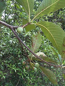 Chiuri Fruit.JPG