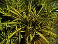 Chlorophytum comosum puducherry.jpg