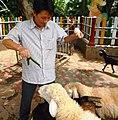 Cho Cừu Phan Rang và dê cỏ ăn.JPG
