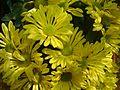 Chrysanthemum flower from kerala.jpg