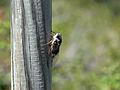 Cicada in Ardèche.JPG