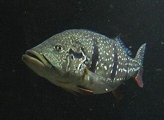 Peacock bass - Cichla temensis