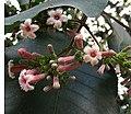 Cinchona pubescens, flower of the Quinine Tree.jpg