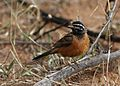 Cinnamon-breasted bunting, Emberiza tahapisi, at Pilanesberg National Park, Northwest Province, South Africa (28486794445).jpg