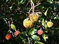 Cireres d'arboç a la zona del revolt de la paella P1050985.jpg