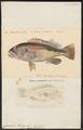Cirrhites forsteri - 1700-1880 - Print - Iconographia Zoologica - Special Collections University of Amsterdam - UBA01 IZ13200003.tif