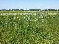 Cirsium brachycephalum sl3.jpg