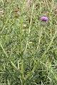 Cirsium vulgare bray-sur-somme 80 25062007 5.jpg