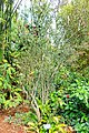 Citrus trifoliata (Poncirus trifoliata) - Mounts Botanical Garden - Palm Beach County, Florida - DSC03739.jpg