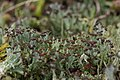 Cladonia sp. (39129163614).jpg