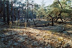 Pine forest with lichen ground-cover