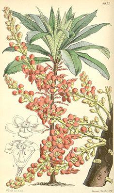 Clavija ornata, Illustration