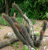 Cleistocactus buchtienii 1