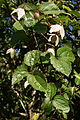 Clematis mauritiana Le Tampon 1.JPG