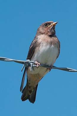 Cliff swallow 7427.jpg