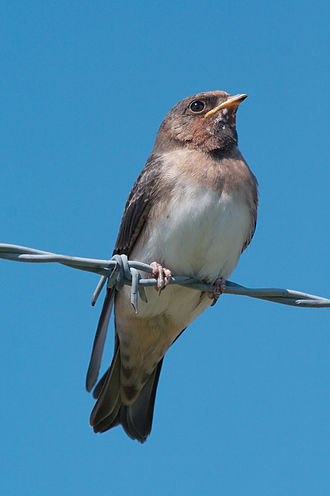 American cliff swallow - Juvenile American cliff swallow