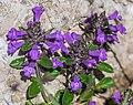 Clinopodium alpinum at Col de Tavaneuse.jpg