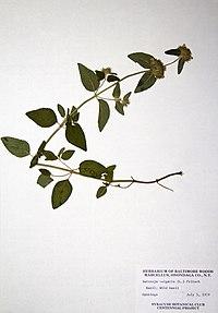 Clinopodium vulgare BW-1979-0705-0372.jpg