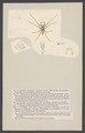 Clubiona - Print - Iconographia Zoologica - Special Collections University of Amsterdam - UBAINV0274 004 04 0018.tif