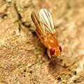 Clusiid Fly - Flickr - treegrow (10).jpg