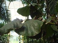 Coccoloba pubescens Kew