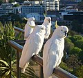 Cockatoos-too 2 - panoramio.jpg