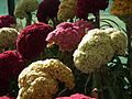 Cockscomb or Celosia argentea from lalbagh 1699.JPG