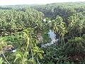 Coconut tree 1.JPG