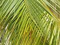 Coconut tree leave.jpeg