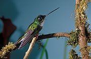 Coeligena torquata (female) -NBII Image Gallery-a00189