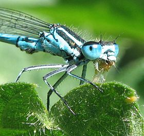 Coenagrion puella with prey.jpg