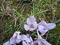 Colchicum hungaricum flower4.jpg