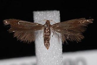 Coleophora serratella - Imago