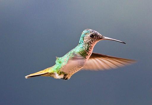 Colibrí Cola de Oro (Golden-tailed Sapphire Hummingbird) Bigger File