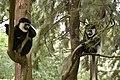 Colobus monkey at Amora Gedel Park, Hawassa (6) (28514912403).jpg