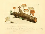 Coloured Figures of English Fungi or Mushrooms - t. 21.png