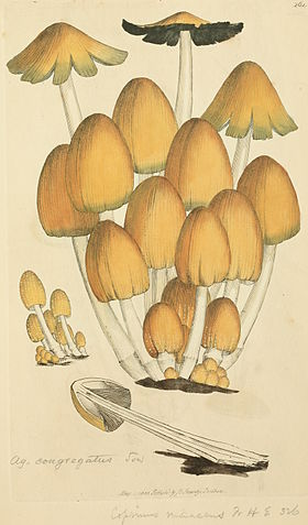 Coloured Figures of English Fungi or Mushrooms - t. 261.jpg
