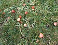 Colourful cliff-top red waxy cap mushrooms - geograph.org.uk - 604549.jpg