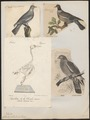 Columba palumbus - 1700-1880 - Print - Iconographia Zoologica - Special Collections University of Amsterdam - UBA01 IZ15600171.tif