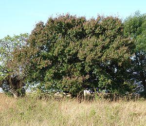 Combretum kraussii - Image: Combretum kraussii, habitus, a, Louwsburg